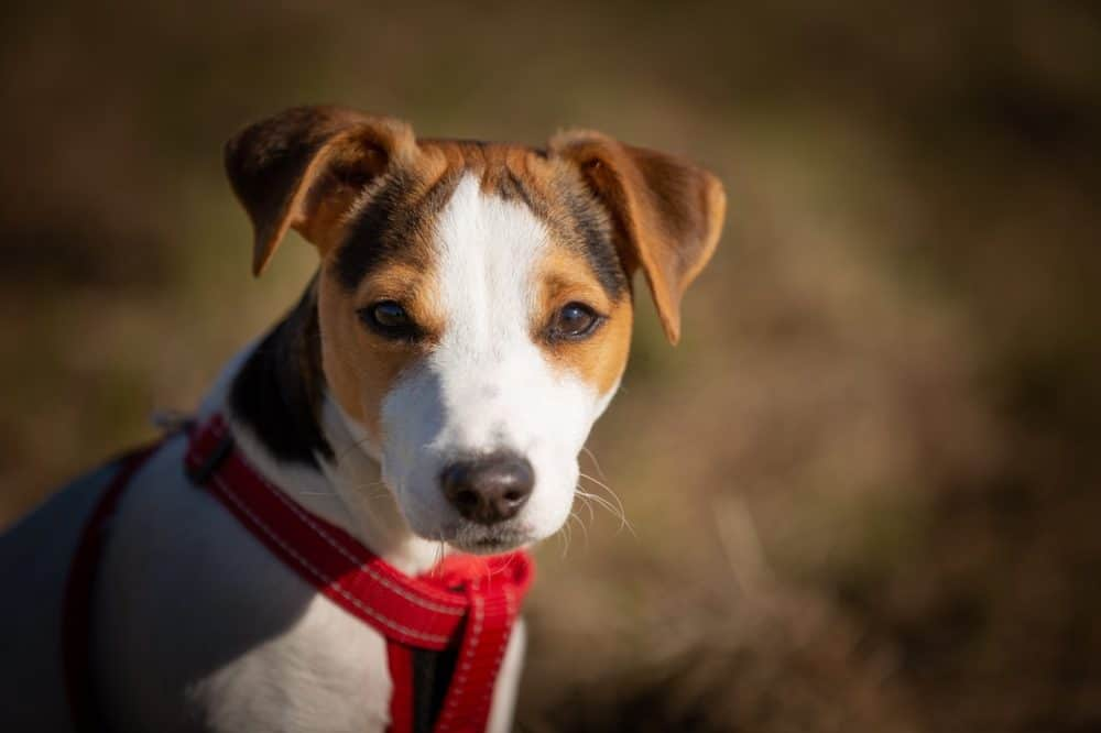 Best Dog Beds for Jack Russells