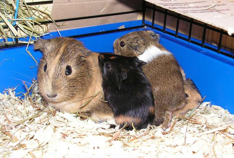 best guinea pig cage setup