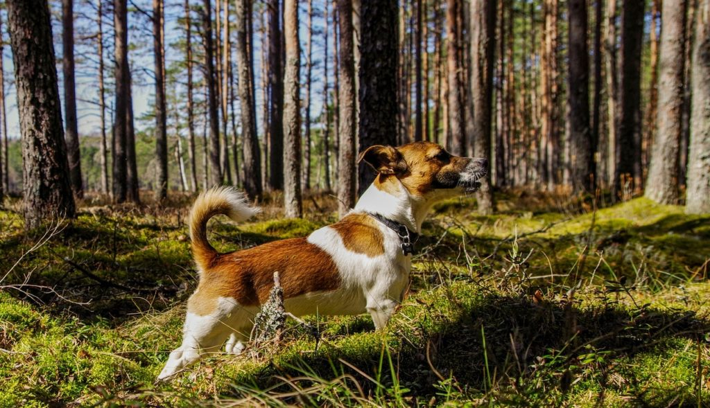 How much exercise does a Jack Russell need