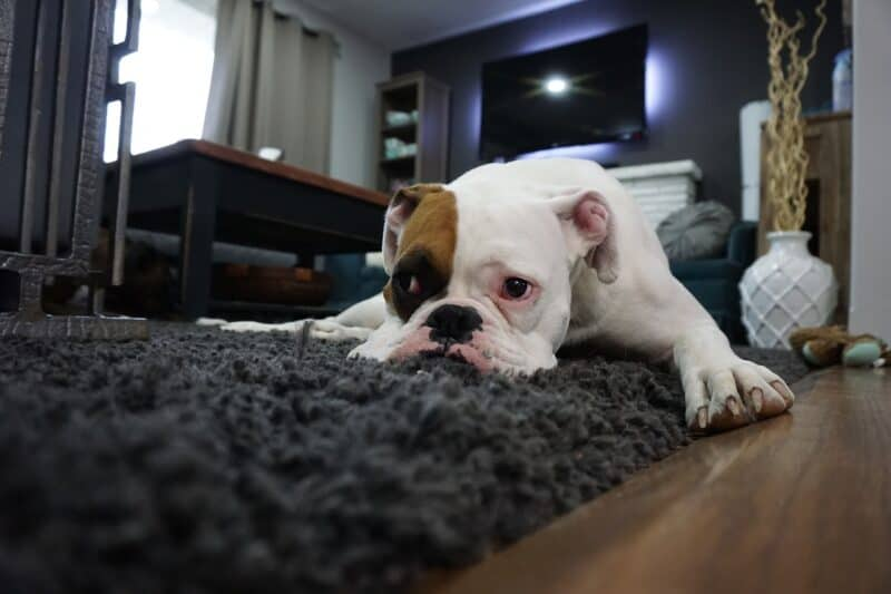 how do you bathe a boxer dog
