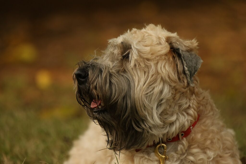 best dog food for wheaten terriers with allergies