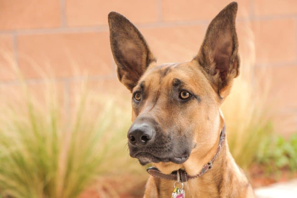 best food for belgian malinois puppy