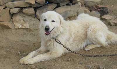 Maremma Sheepdog breed