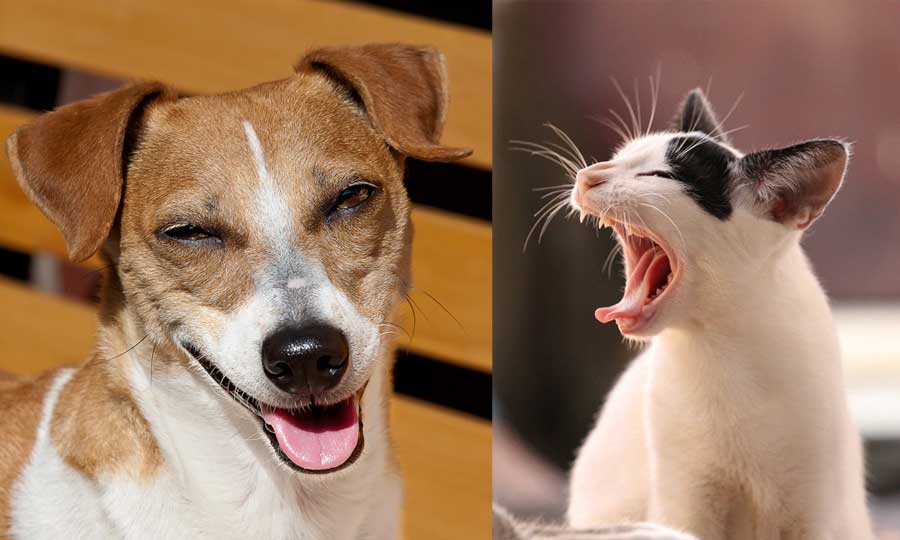 How to introduce a Jack Russell to a Cat