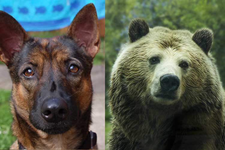 are bears related to dogs